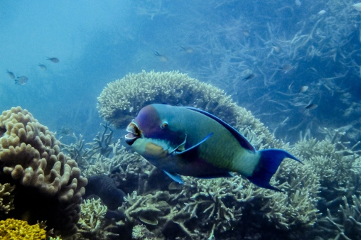 great_barrier_reef_agincourt_reef-6