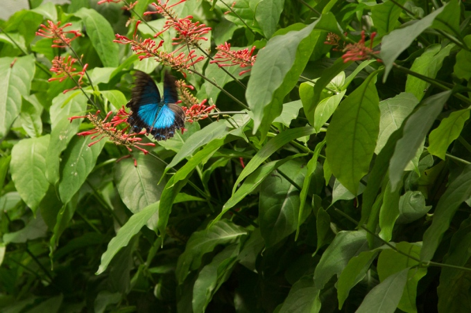 kuranda_birds_butterflies-1