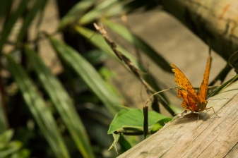 kuranda_birds_butterflies-10