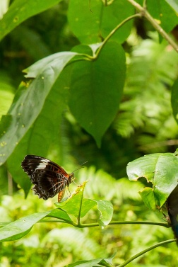 kuranda_birds_butterflies-15