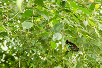 kuranda_birds_butterflies-16