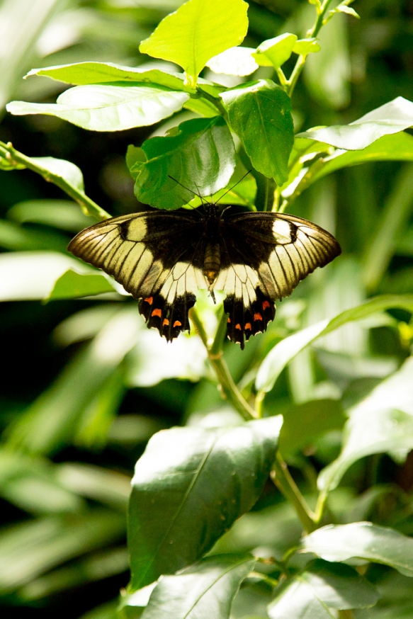 kuranda_birds_butterflies-17