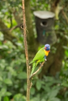 kuranda_birds_butterflies-30